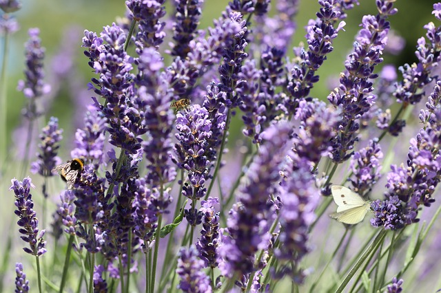 lavender farm in somerset county new jersey